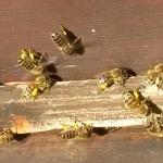 Bienen2020_10.jpg
