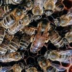 Bienen2020_19.jpg